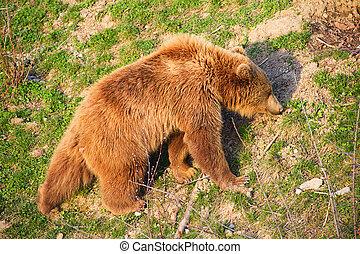brun, jeune, ours