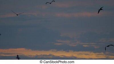 brun, lent, au-dessus, costa, pélicans, motion), océan, (...