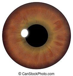 brun, oeil, iris