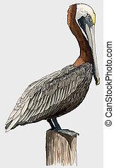 brun pelikan