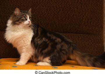 brun, pelucheux, blanc, cat.