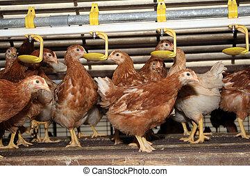 brun, pose, tard, freewheel, écurie, poules