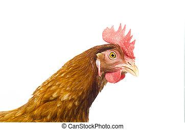 brun, poulet, poule, isolé, fond blanc