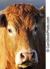 brun, prise vue tête, vache