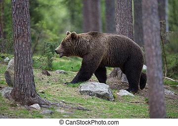 brun uthärda, in, tiaga, skog