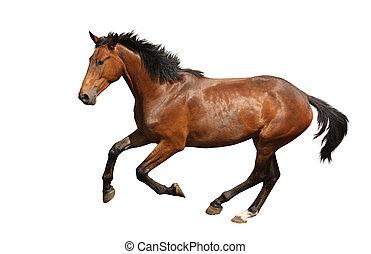 brunatny koń, odizolowany, mocny, biały, galopowanie
