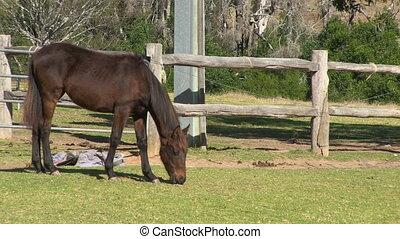 brunatny koń, rancho, jedzenie, chudy