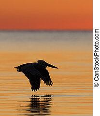 brunatny pelikan w locie, na, wschód słońca, -, cedr, klucz, floryda