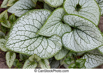 brunnera, heartleaf, '), 'jack, bugloss, macrophylla, gelée,...