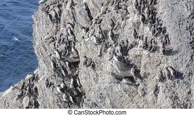 Brunnich guillemots with bird stain was stuck on steep rock...
