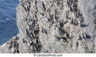 Brunnich guillemots with bird stain was stuck on steep rock...