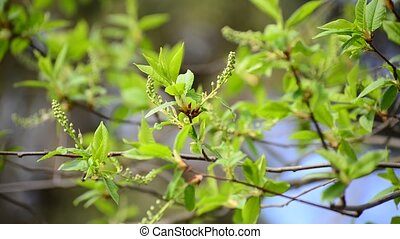 Brush is not full-blown bird cherry in the early spring -...