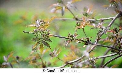 Brush is not full-blown elderberries in the early spring -...