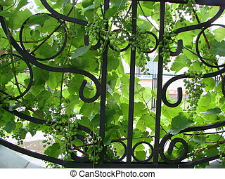 Brush of green grapes in the rich green foliage of carved leaves.