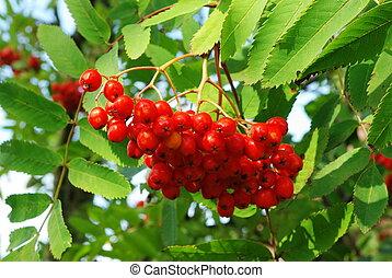 Brush of red rowanberry