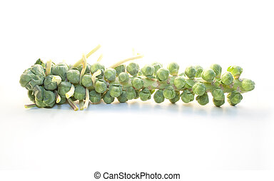 Like tiny heads of cabbage, freshly grown Brussel sprouts cling to the stem.