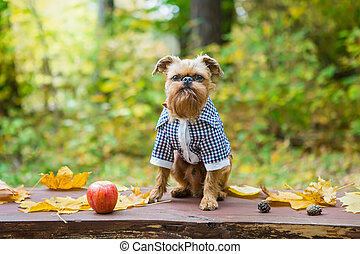 Brussels Griffon in autumn on a walk in the Park - Brussels ...