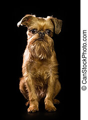 Brussels Griffon puppy on a black background