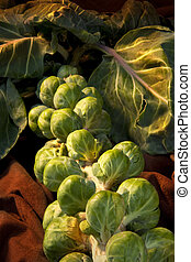 Brussels Sprout (Brassica oleracea)  They contain good ...