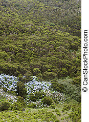 bruyère, portugal, açores, terceira., hydrangeas, paysage