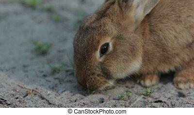 Brwon Rabbit Close Up - Brown rabbit feeds close-up (1080p,...