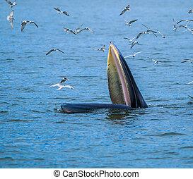 brydei), comida, golfo, ballenas, pez, (balaenoptera,...