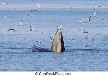 Bryde's Whale marine mammals