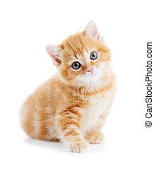 brytyjski, shorthair, kociątko, kot, odizolowany
