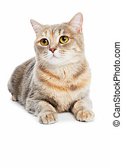 brytyjski, shorthair, kot, odizolowany