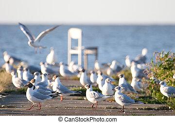brzeg, seagulls
