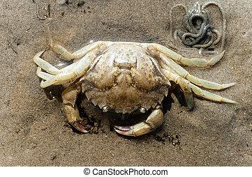 brzeg, szkielet, krab