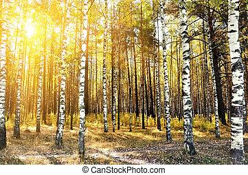 brzozowe drzewa, w, niejaki, lato, las