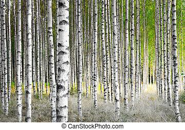 brzozowe drzewa