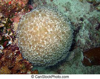 Bubble anemone. Similan island. Andaman sea.