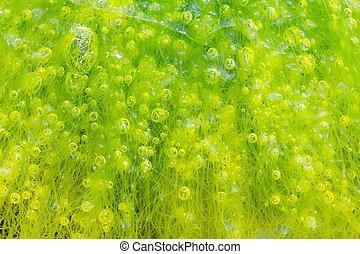 bubbles in seaweed - macro of ulva seaweed with many little ...