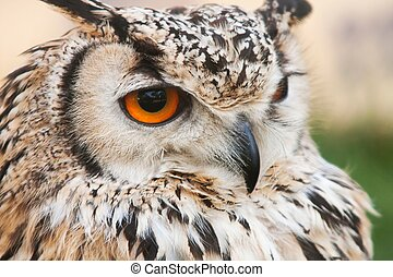 bubo bubo - a portrait of an european eagle owl, the biggest...