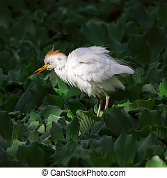 Bubulcus ibis - Cattle Egret looks for fish in Israel...