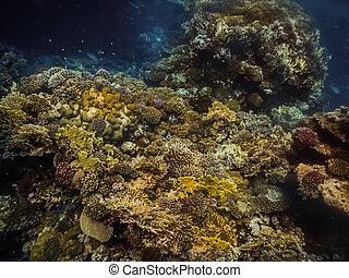 buceo, colorido, mar, rojo, biodiversity, mientras, corales