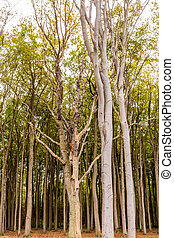 Buchenwald - Bäume