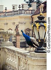 buchlovice, castillo, y, pavo real, (pavo, cristatus)