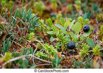 bucht, crowberry, schwarzes meer, weißes, russland