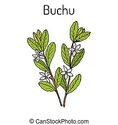Buchu Agathosma betulina , medicinal plant. Hand drawn botanical vector illustration