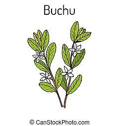 Buchu Agathosma betulina , medicinal plant. Hand drawn botanical vector illustration