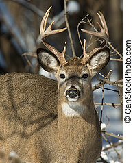 A large buck looking at you