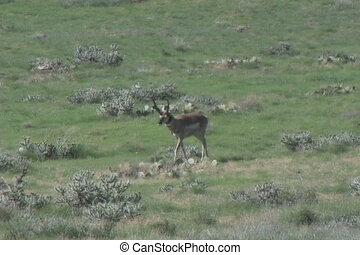 Buck Antelope - a big pronghorn antelope buck on the prairie