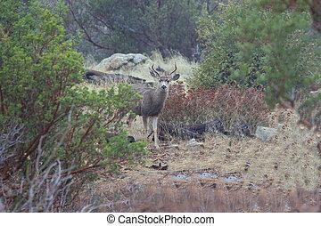 Buck Blacktail Deer - a young blacktail deer buck in a ...
