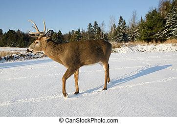 Buck deer in the snow