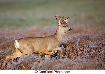 Buck deer on the run
