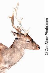 Buck deer portrait isolated on white
