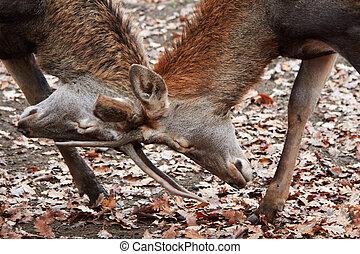 Buck deer stags fighting